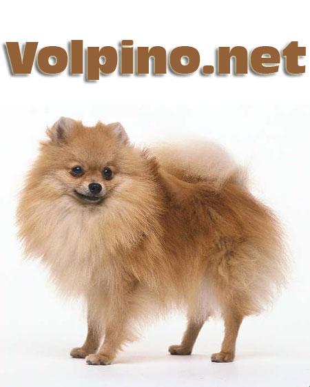 Il sito dei volpini for Cane volpino